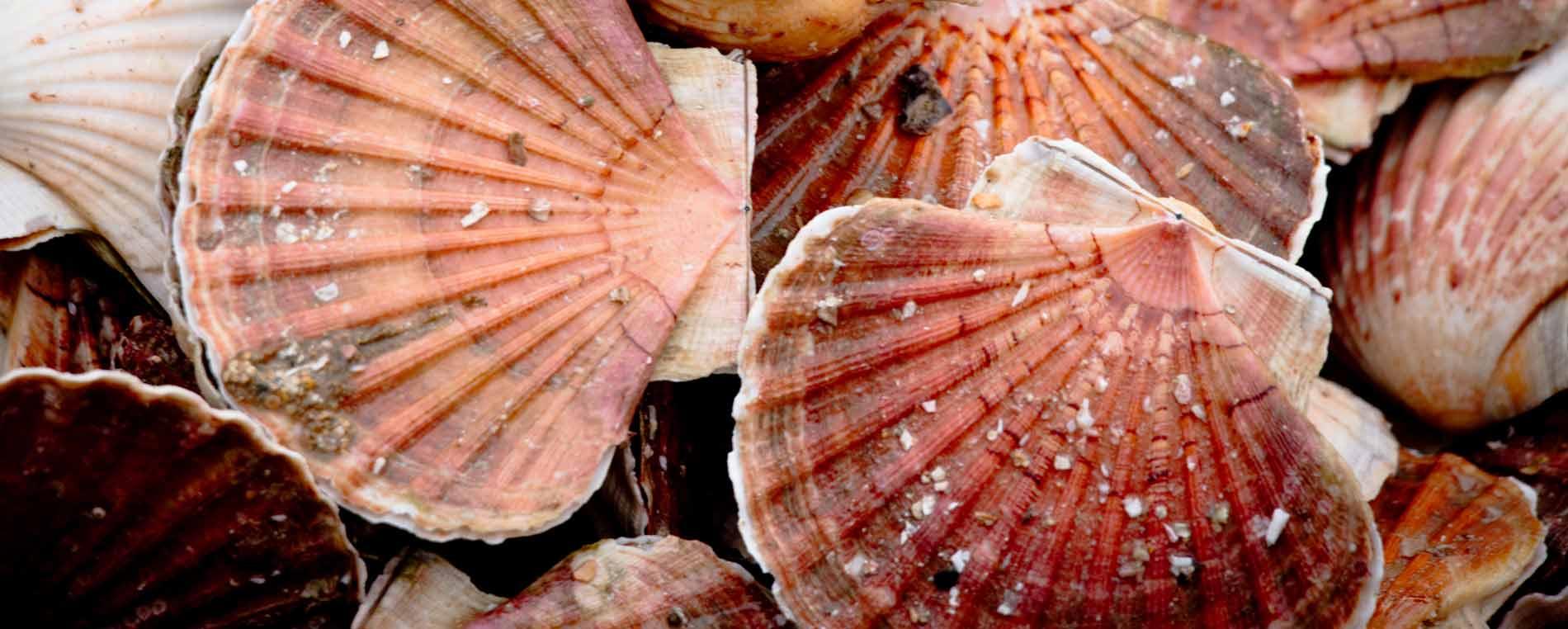 Notre recette du mois : Saint-Jacques de la Baie de Morlaix contisées aux champignons bruns