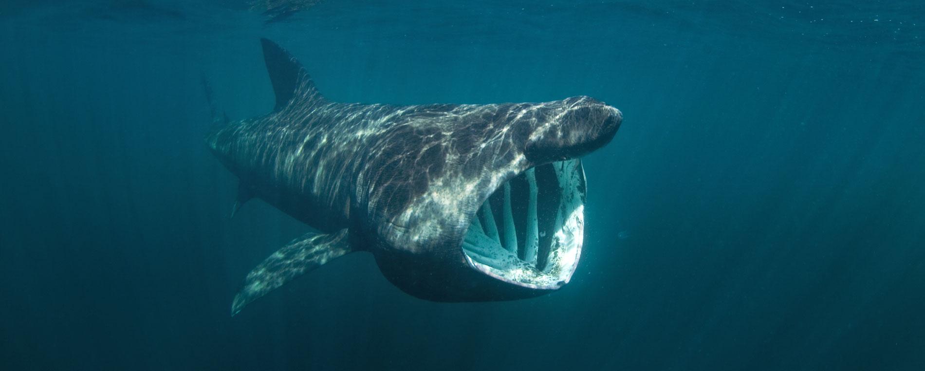Le requin pèlerin, visiteur régulier des Glénan