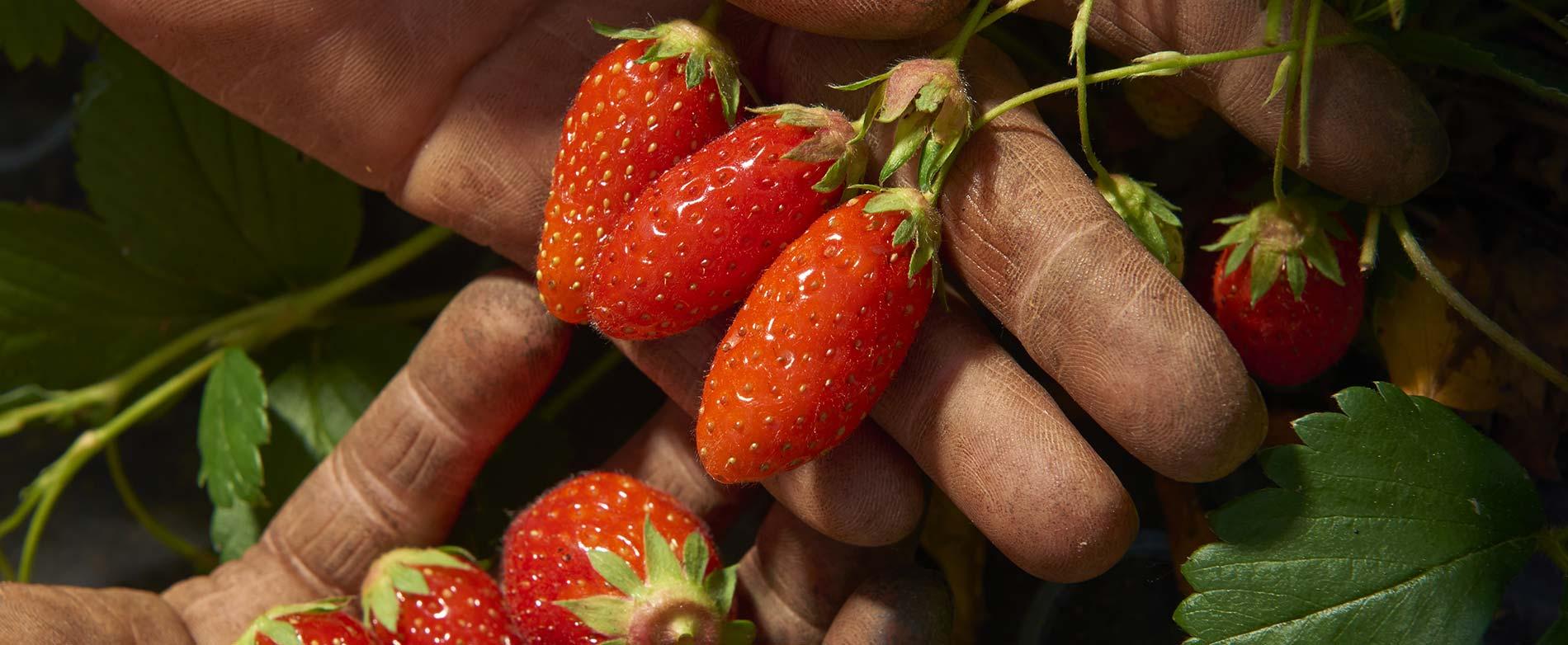 La fraise, la belle des jardins